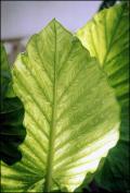 feuilles solaires
