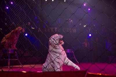 Qui a lavé le tigre à l'eau de javel ?